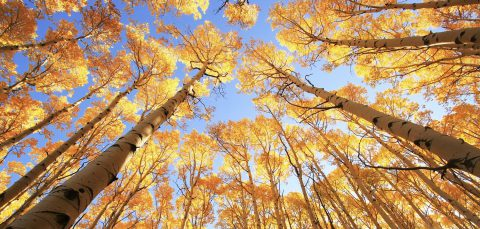 Aspen trees with yellow leaves